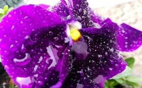Picture drops, flowers, nature, rain, Macro