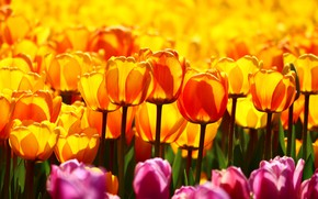 Picture field, light, flowers, bright, yellow, garden, tulips, orange, buds, a lot