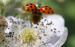 Picture flower, nature, ladybug, insect