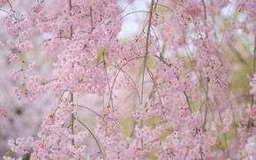 Picture branches, cherry, spring, flowering, flowers, cherry blossoms