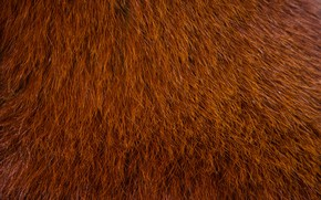 Picture color, wool, Red Panda