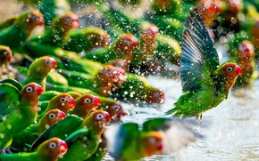 Picture green, colors, colorful, red, animals, flying, yellow, water, wings, feathers, birds, beak, Parrots