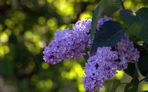 Picture macro, Bush, lilac