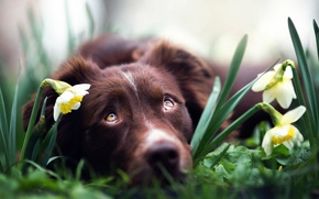 Picture flowers, dog, daffodils, Spring dreams