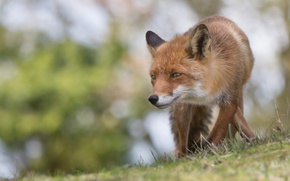 Picture face, Fox, red, bokeh