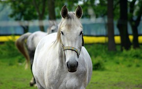 Picture white, animal, Horse