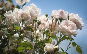 Picture tenderness, Bush, roses