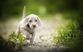 Picture bokeh, doggie, Weimar pointer, puppy, walk, The Weimaraner, grass