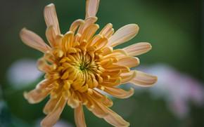 Picture macro, petals, bokeh, chrysanthemum