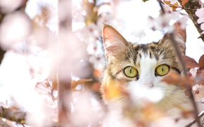 Picture cat, spring, eyes, cherry, tree