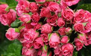 Picture roses, buds, bunch, motley