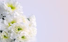 Picture Bouquet, chrysanthemum, Bouquet, Chrysanthemum, White flowers, White flowers