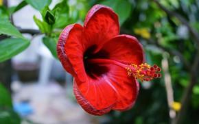 Picture flower, nature, hibiscus