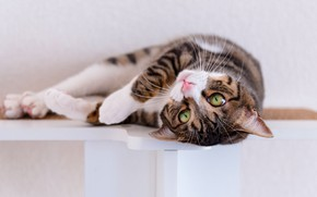 Picture cat, cat, look, pose, grey, wall, shelf, lies, face, light background, striped