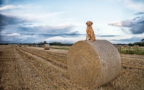 Picture field, dog, hay