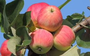 Picture apples, August, Apple