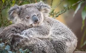 Wallpaper cute, fur, Koala