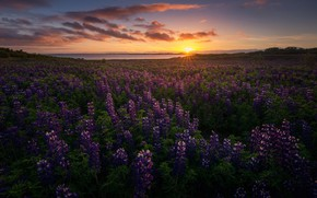 Wallpaper the sun, nature, Iceland, the evening, lupins, flowers
