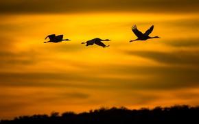 Picture flight, birds, silhouette