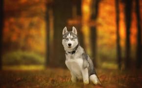 Wallpaper bokeh, look, dog, autumn, Husky