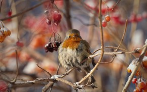 Picture winter, branches, berries, bird, Robin