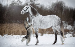 Picture winter, snow, horse, horse, dog, husky, stand, bridle