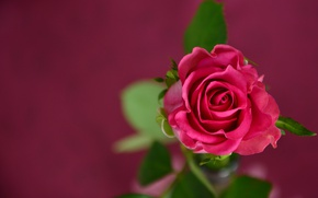 Picture flower, leaves, macro, background, rose