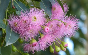 Picture branch, flowers, buds, Corymbia