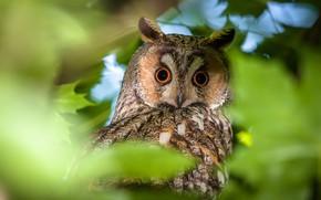Picture look, nature, owl, bird, foliage, long-eared owl, long-eared owl