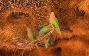 Picture birds, branch, socket, hay, parrots