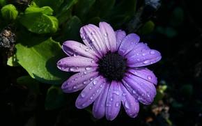 Picture petals, water drops, osteospermum