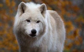 Picture look, face, background, wolf, predator, Arctic wolf