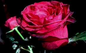 Wallpaper flowers, nature, rose