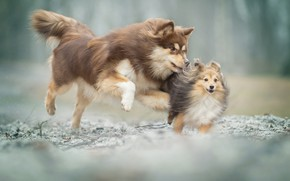 Picture game, mood, bokeh, two dogs, Sheltie, Finnish lapphund, catch-up, Shetland Sheepdog