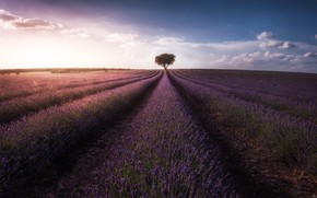 Picture field, the sky, clouds, tree, lavender