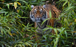 Wallpaper wild cat, alertness, thickets, Sumatran tiger, observation, attention, predator