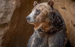 Picture bear, profile, brown