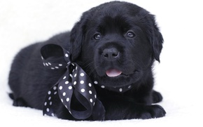 Wallpaper black, puppy, bow, Labrador