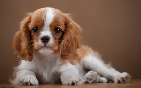 Picture puppy, ears, breed, Spaniel