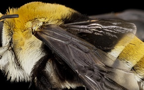 Picture nature, bee, wings, insect