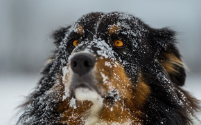 Wallpaper winter, eyes, snow, dog, focus, wool, nose