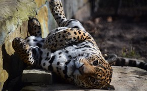 Picture Leopard, Nature, Cat, Stay, Animal