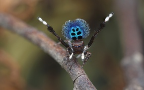 Picture eyes, macro, nature, pose, sprig, background, blue, pattern, spiders, dance, legs, spider, hairy, color, blurred …
