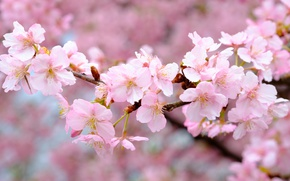 Picture branches, cherry, pink, spring, Sakura
