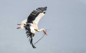 Picture the sky, bird, stork