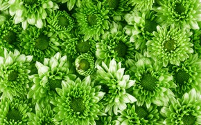 Picture green, Flowers, chrysanthemum, a lot