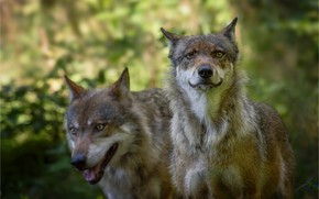 Wallpaper wolves, animals, pair