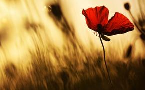 Picture flower, light, flowers, red, Mac, Maki, petals, blur, silhouette, al, blurred background, poetic