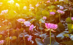 Picture flowers, Lotus, flowering, the rays of the sun