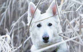 Wallpaper grass, look, face, dog, The white Swiss shepherd dog